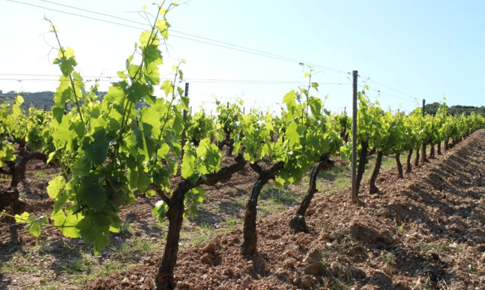 Les vignes de la Courtade