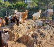 Le troupeau de chèvres