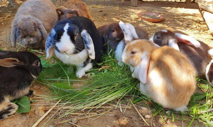 Les lapins bélier